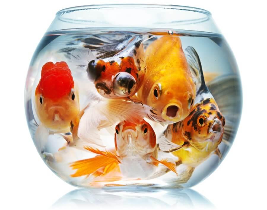crowded-fish-bowl-e1432084171494